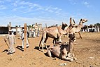 Camel market at Daraw in 2017, photo by Hatem moushir 13.jpg