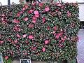Camellia sasanqua1065947サザンカ,山茶花.JPG