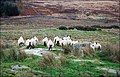 Camera Shy Sheep - geograph.org.uk - 609991.jpg