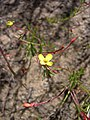 Camissonia contorta-5-24-05.jpg