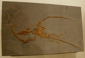 Novialoidea - Fossil specimen of Campylognathoides liasicus, a basal novialoid.