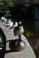 Canada Geese (Branta canadensis) - Guelph, Ontario 02.jpg