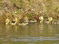Canada goslings.jpg