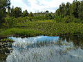 Canal des Pangalanes - water hyacinth.jpg