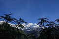 Cannabis plants in front of the Dhaulagiri summit (focus on summit).jpg