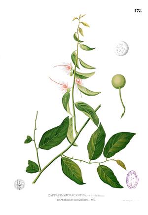 Capparis - Drawing of Capparis micracantha, showing its parts. Francisco Manuel Blanco, Flora de Filipinas, etc (1880-1883)