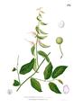 Capparis micracantha Blanco1.178.png