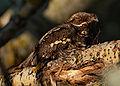 Caprimulgus europaeus 1200x855.jpg