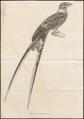 Caprimulgus torquatus - 1700-1880 - Print - Iconographia Zoologica - Special Collections University of Amsterdam - UBA01 IZ16700050.tif