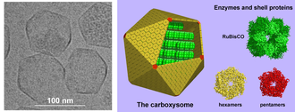 Cytosol - Carboxysomes are protein-enclosed bacterial microcompartments within the cytosol. On the left is an electron microscope image of carboxysomes, and on the right a model of their structure.