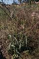 Cardère sauvage-Dipsacus fullonum-Ametzondo-20140921.jpg