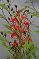 Cardinal Flower with New York Ironweed in background, Leesylvania State Park, Woodbridge, Virginia (36365482723).jpg