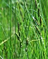Carex acuta inflorescense (11).jpg