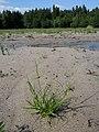 Carex bohemica sl30.jpg