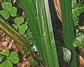 Carex pendula leaf (2).jpg