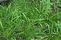 Carex strigosa kz17.jpg