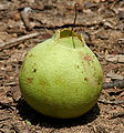 Careya arborea (Wild guava)fruit in Narsapur forest, AP W IMG 0148.jpg