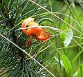 Carnic Lily (Lilium carniolicum) (16285349971).jpg