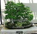 Carpinus laxiflora bonsai.jpg
