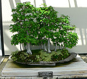 Carpinus laxiflora bonsai.jpg