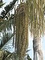 Caryota urens (Maria Serena) fruit.jpg