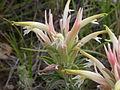 Castilleja sessilifolia (4000614699).jpg