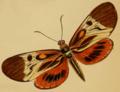 Castnia ecuadoria in Westwood 1877.png