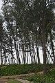 Casuarina Plantation - New Digha Coast - East Midnapore 2015-05-02 8899.JPG