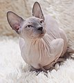 Cat - Sphynx. img 013.jpg