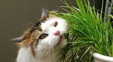 Cat Eating Catgrass.jpg
