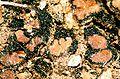 Catapyrenium cinereum.jpg