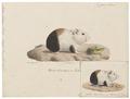 Cavia cobaya - 1700-1880 - Print - Iconographia Zoologica - Special Collections University of Amsterdam - UBA01 IZ20600055.tif