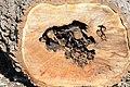 Cavités dans des bûches de peuplier blanc (53).JPG