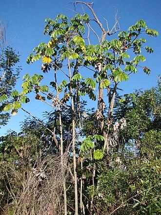 Cecropia - Ambay pumpwood, Cecropia pachystachya
