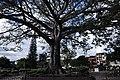 Ceiba Gigante del parque de Timana, Huila - panoramio.jpg