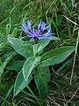 Centaurea montana (Spitzkopf).jpg