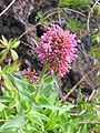 Centranthus ruber (Flower).jpg