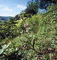 Cephalanthera rubra wiki mg-k01.jpg