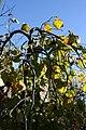 Cercis canadensis Covey 6zz.jpg