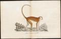 Cercopithecus ruber - 1700-1880 - Print - Iconographia Zoologica - Special Collections University of Amsterdam - UBA01 IZ19900092.tif