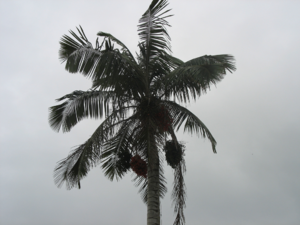 Ceroxylon quindiuense - Ceroxylon quindiuense growing wild in Cocora Valley near Salento, Colombia