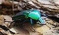 Cetoniidae Torynorrhina.jpg