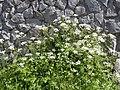 Chaerophyllum temulum plant (01).jpg