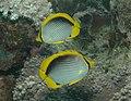 Chaetodon melannotus 1.jpg