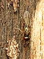 Chalcid Wasp (34396557596).jpg
