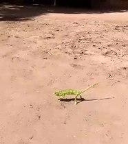 Bestand:Kameleon in malawi 2018-6.webm