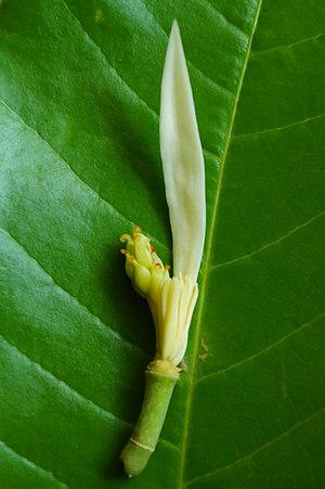 Magnolia champaca - champak flower parts