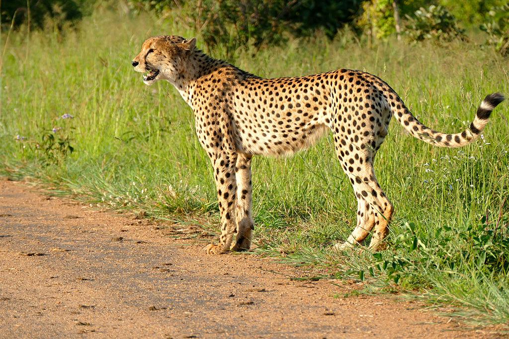 """Cheetah (Acinonyx jubatus) (16546676748)"" by Bernard DUPONT from FRANCE - Cheetah (Acinonyx jubatus). Licensed under CC BY-SA 2.0 via Wikimedia Commons - https://commons.wikimedia.org/wiki/File:Cheetah_(Acinonyx_jubatus)_(16546676748).jpg#/media/File:Cheetah_(Acinonyx_jubatus)_(16546676748).jpg"