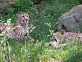 Cheetahs2.jpg