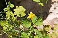 Chelidonium majus, feuilles et graines, 2015-04-15.jpg